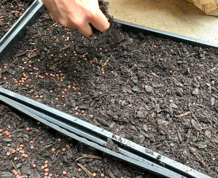 Covering the pea seeds with a final top-up of garden soil.