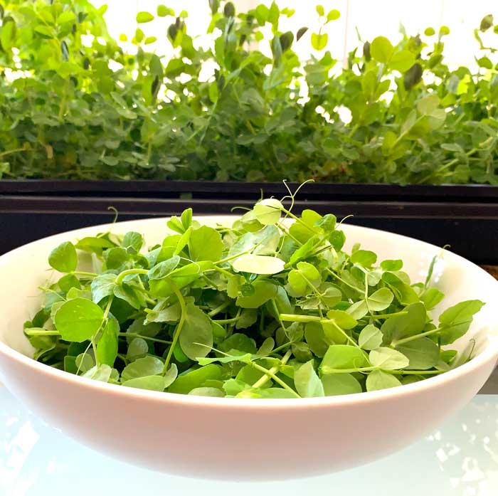 Using pea greens in your kitchen.