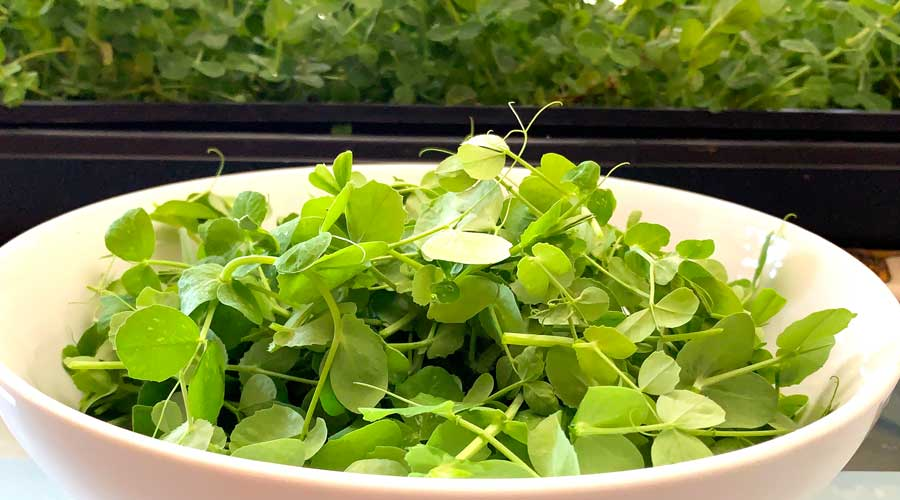 How to grow an endless supply of pea greens indoors thumbnail