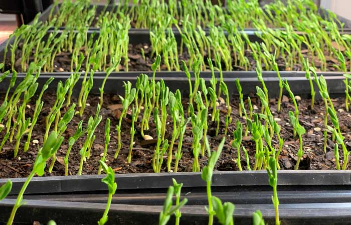 Recently germinated peas growing in flats under grow lights.