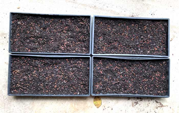 Pea seeds scattered on the surface ready to be covered with a final layer of potting soil.