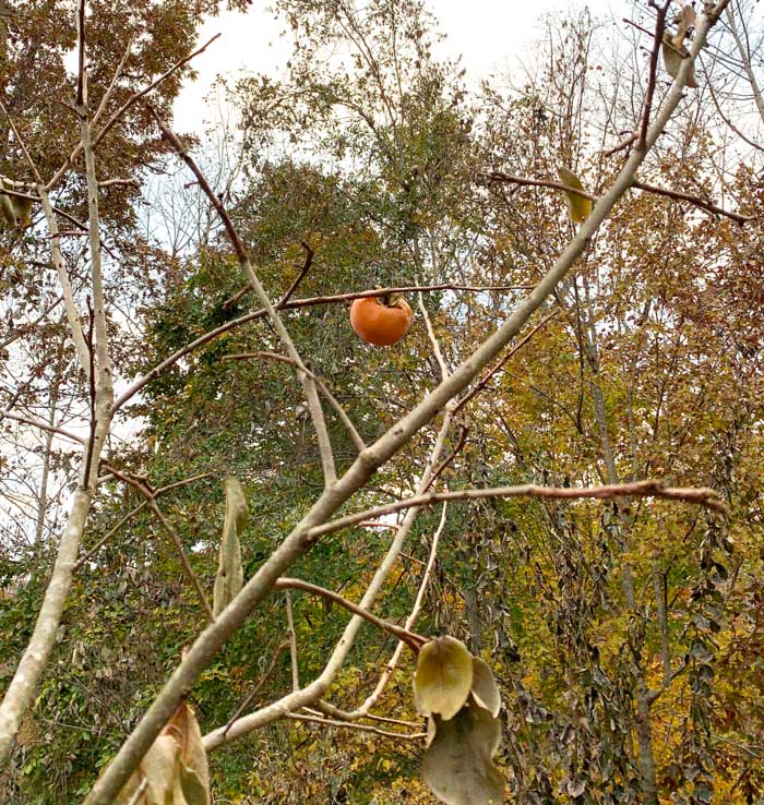 One of our experimental persimmons after multiple frosts and two deep freezes into the low 20s. We're testing to see how long they can stay on the tree before they either fall off or diminish in quality to the point that they have to be harvested.