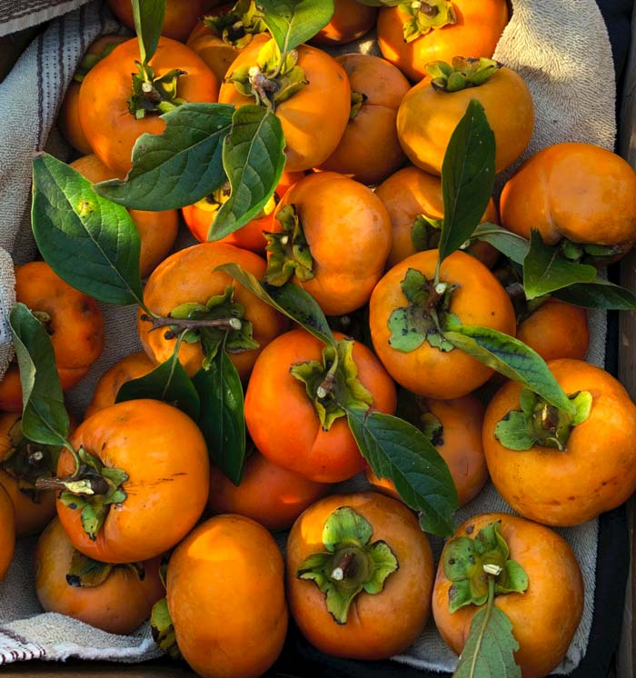Japanese persimmons from our front yard 'Fuyu' persimmon tree.