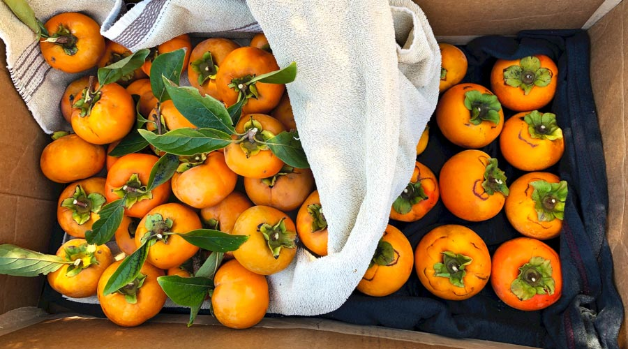 Japanese vs American persimmons: growing, foraging, eating thumbnail