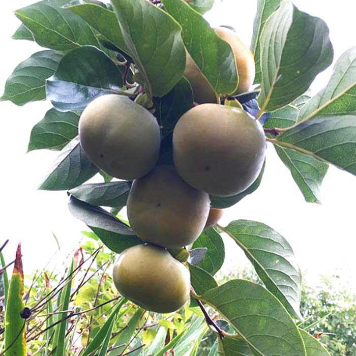 Given the large size of individual Japanese persimmon fruit in addition to the quantity of fruit that each tree can produce, it's easy to see how they can produce such large yields.
