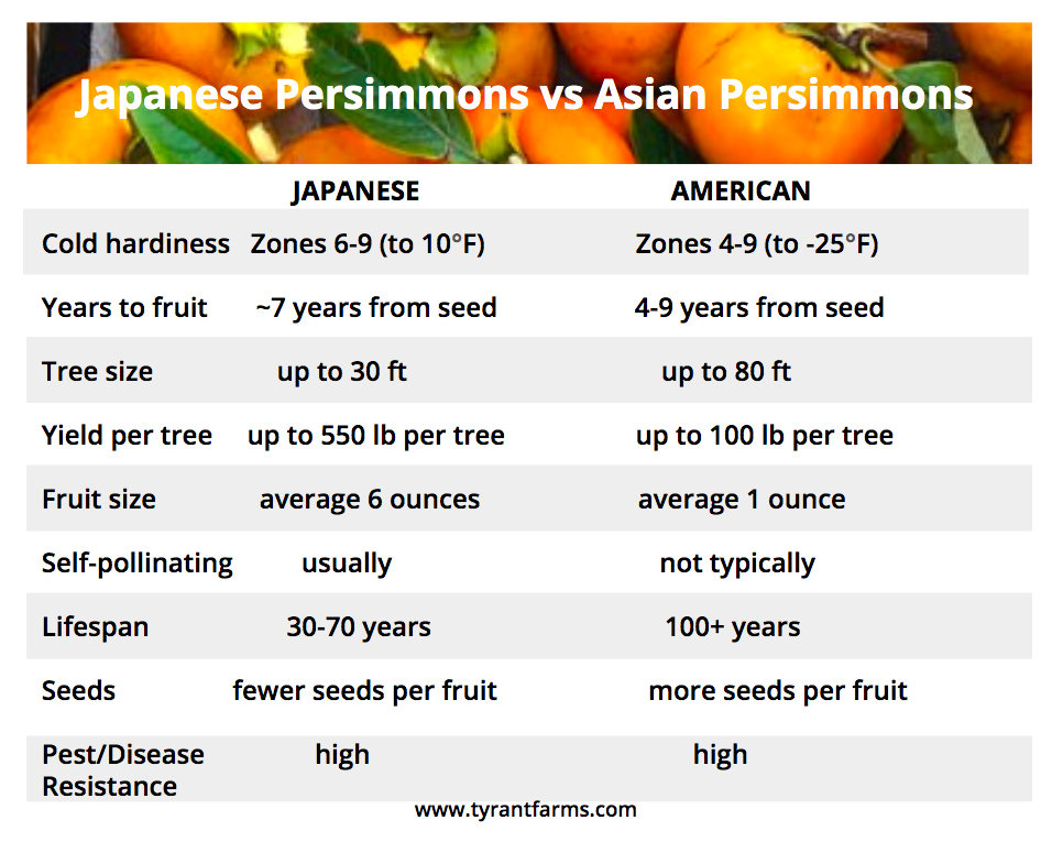 Japanese persimmons vs American persimmons - side by side comparison
