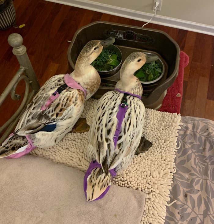 Our girls' Neater Feeder station at the base of the bed. The Neater Feeder is on a small table with a towel on top. Added bonus: several times throughout the night, we get to hear the soothing sounds of ducks drink-eating lettuce, which sounds like ten people at a spoonless soup eating contest.