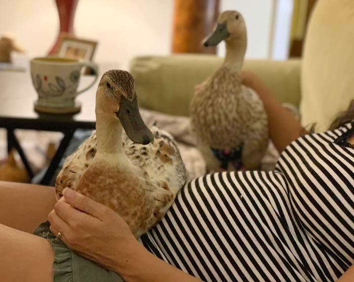 Keeping Indoor Pet Ducks