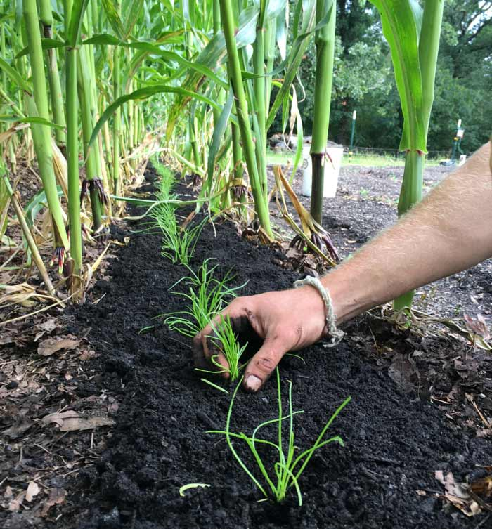 Transplanting buck's horn plantain out between rows of corn on a sweltering late July day in South Carolina. The corn provides some shade and will be removed about a month later, allowing the buck's horn to be in full shade going into the fall.
