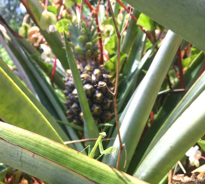 A praying mantis exploring pineapple leaves in mid-summer at Tyrant Farms.