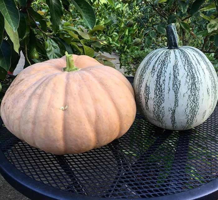 Left: Long Island Cheese pumpkin (ideal for pumpkin pie, pumpkin pudding, etc.). Right: Pipian from Tuxpan winter squash/pumpkin, a rare heirloom bred for its large edible seeds.