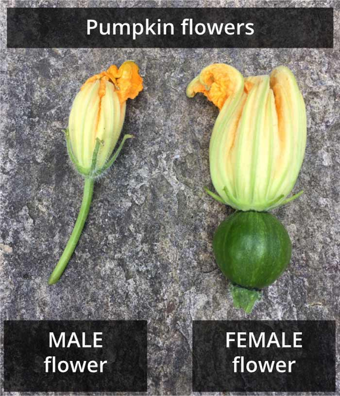 male and female pumpkin flowers