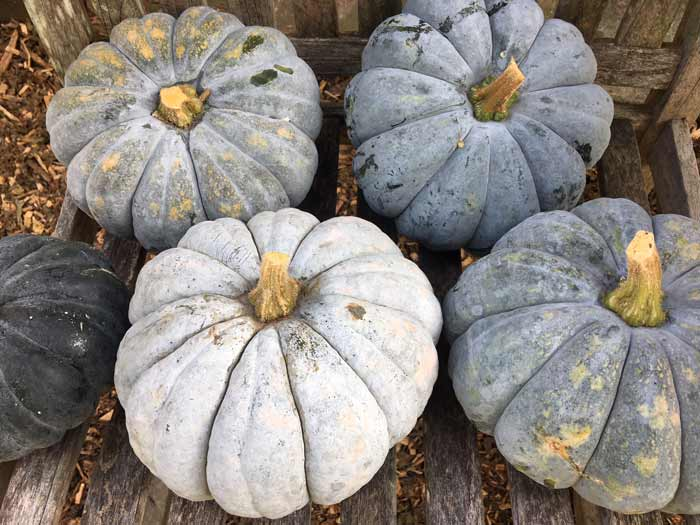 Pumpkins come in all different sizes and colors, not just round and orange. / How to process and eat your incredible edible pumpkin