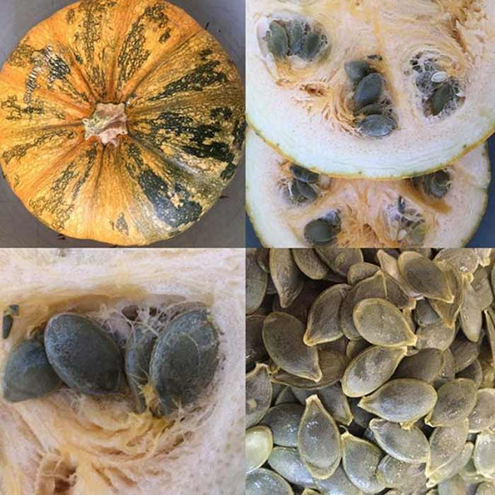 Perhaps the best pumpkin for edible pumpkin seeds is the Styrian pumpkin from Austria. These offer hull-less seeds, unlike most pumpkins whose seeds have a fibrous hull. / How to eat pumpkin seeds