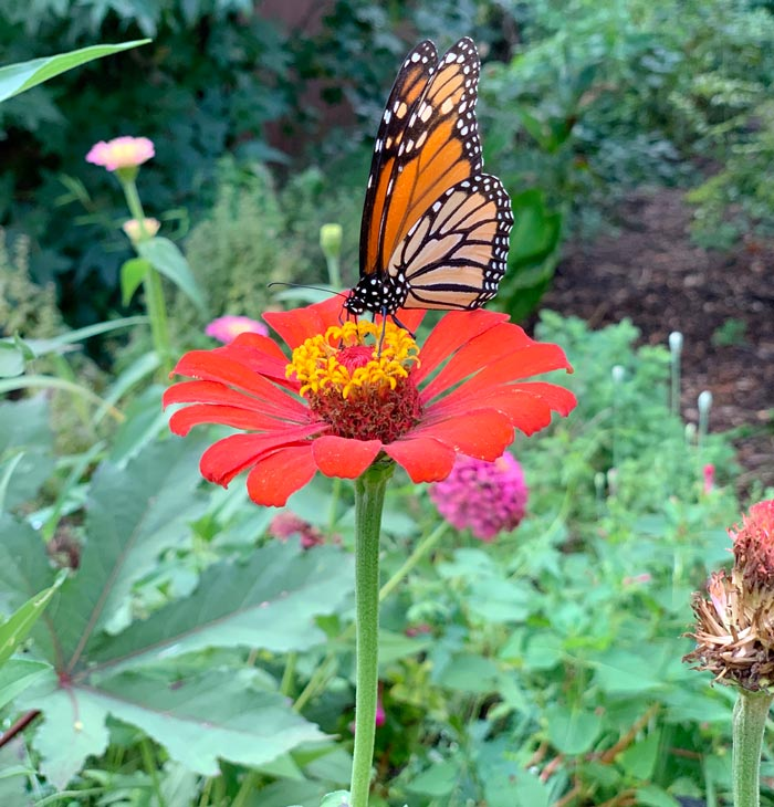 A Monarch butterfly foraging a zinnia flower in our yard. Just a reminder: edible gardens can be butterfly/pollinator gardens also. Zinnia petals are edible, and this zinnia is interplanted with okra (whose flowers pollinators love), lemongrass, and lemon balm. The ground below is covered by a crawling watermelon plant.