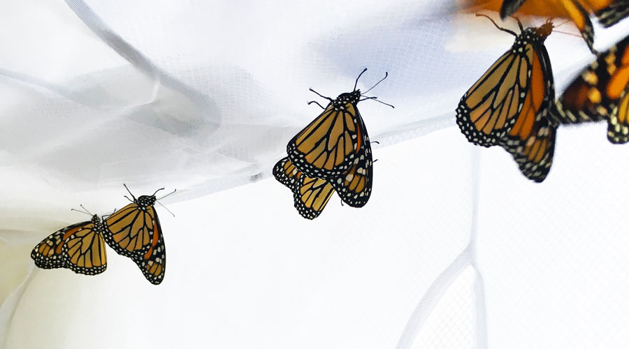 Complete guide: How to raise Monarch butterfly caterpillars at home thumbnail