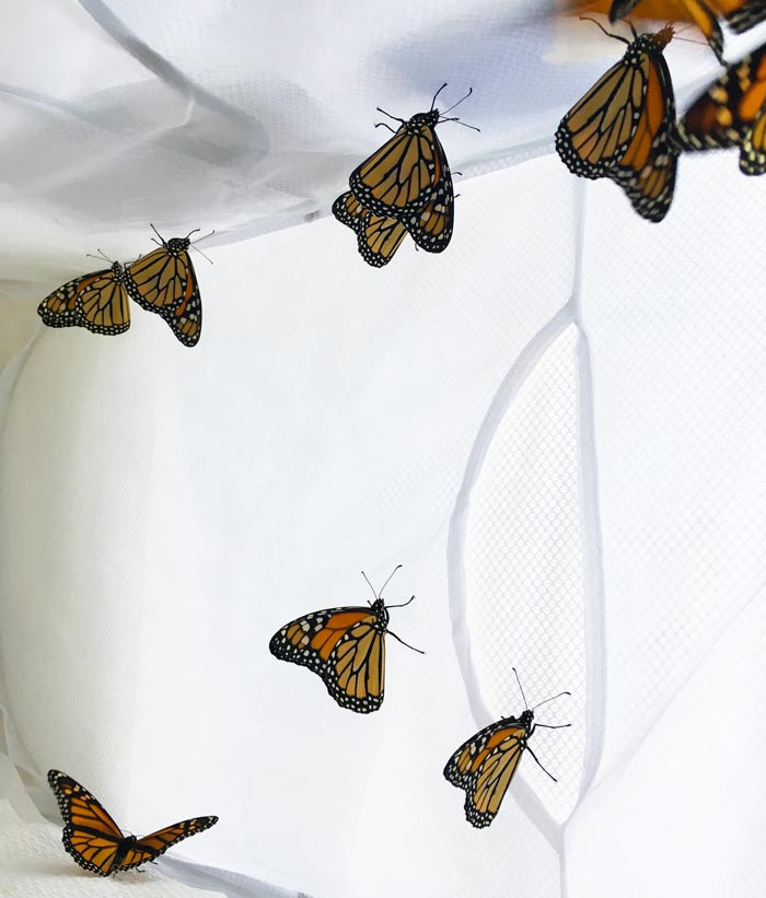 Recently eclosed Monarch butterflies inside our indoor holding pen drying their wings in preparation for their first flight.