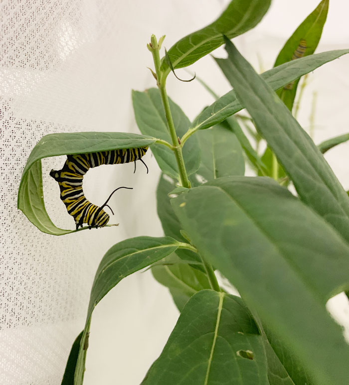 A Monarch butterfly caterpillar showing off its flexibility and yoga skills via an upward facing dog pose.