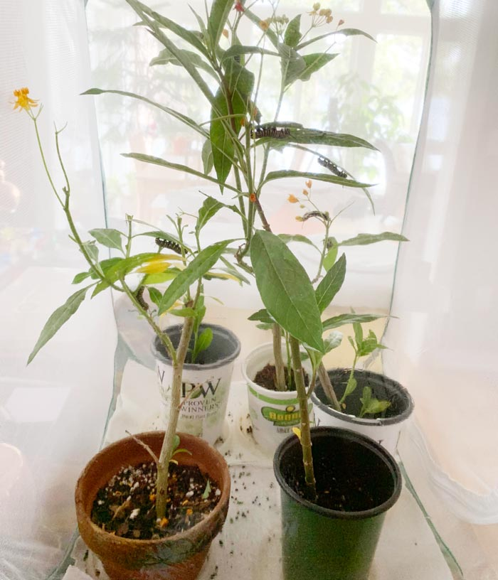 Pots of milkweed and Monarch caterpillars inside a butterfly cage at our family's lakehouse.