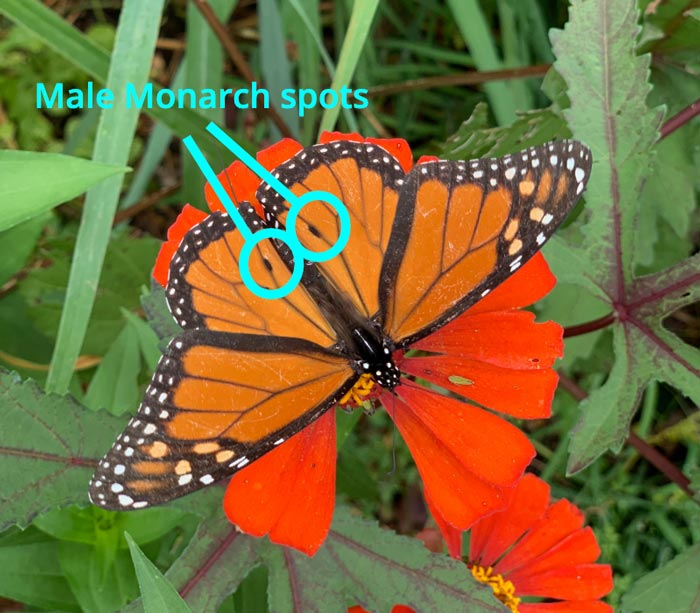 See the two spots circled in this photo? Those tell you that this is a MALE Monarch butterfly. The females don't have spots.