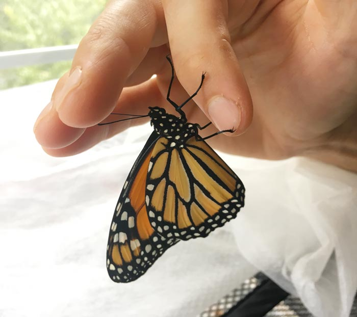 Transporting an adult Monarch butterfly on my finger.