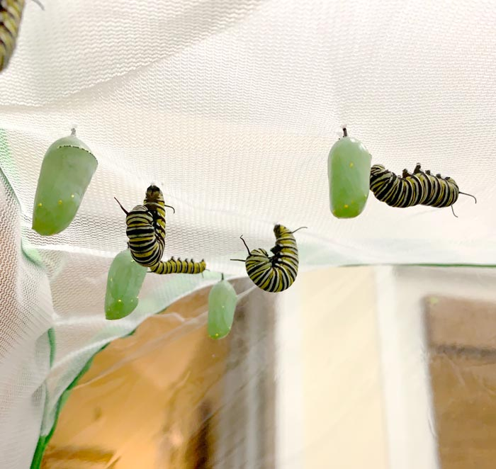 Here you can see Monarchs in various stages. Green chrysalises are Monarchs in the pupal stage. On the right is a fifth instar Monarch caterpillar looking for an ideal place to pupate. The caterpillars in the center have attached themselves via a silken thread to the mesh and are