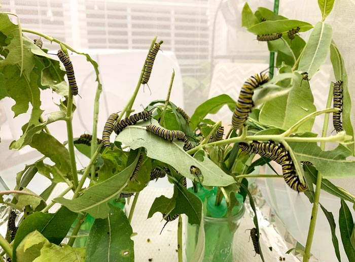 Monarch caterpillars want to eat milkweed, not other Monarchs. However, they can eat each other under certain conditions...