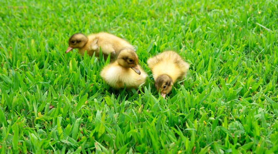 We challenge you to find anything in the world cuter than a baby duckling. This is an image of three of our Welsh Harlequin ducklets (females) when they were a few days old.