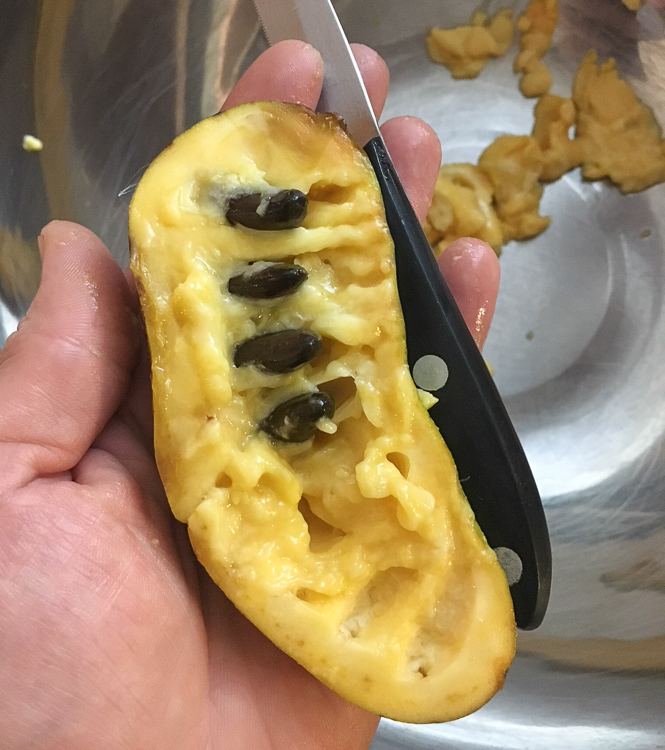 These pawpaw seeds were covered with pulp, but they've now been scraped with a knife and ready to be pulled out.