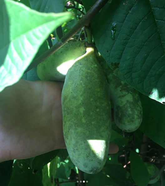 An almost ripe cluster of pawpaws. For optimal flavor, leave the pawpaws on the tree until they're ripe enough to fall off.