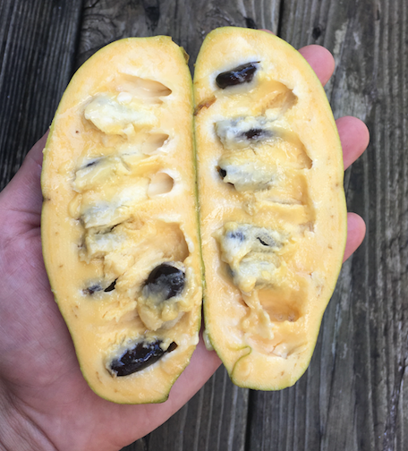 Pawpaw perfection! A ripe pawpaw, cut in half. The taste is like a mango-banana-persimmon.
