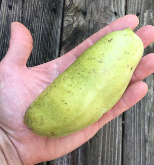 A perfect pawpaw fruit, just fallen from the tree. A ripe pawpaw is slightly soft to the touch.