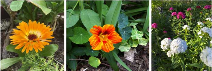 Left to right: calendula, nasturtium, and dianthus flowers, all of which are edible and can grow in part shade.