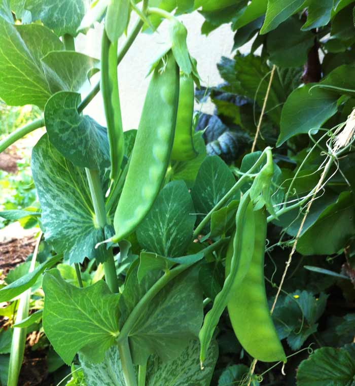 Peas grow perfectly well in part shade, especially as the weather warms.