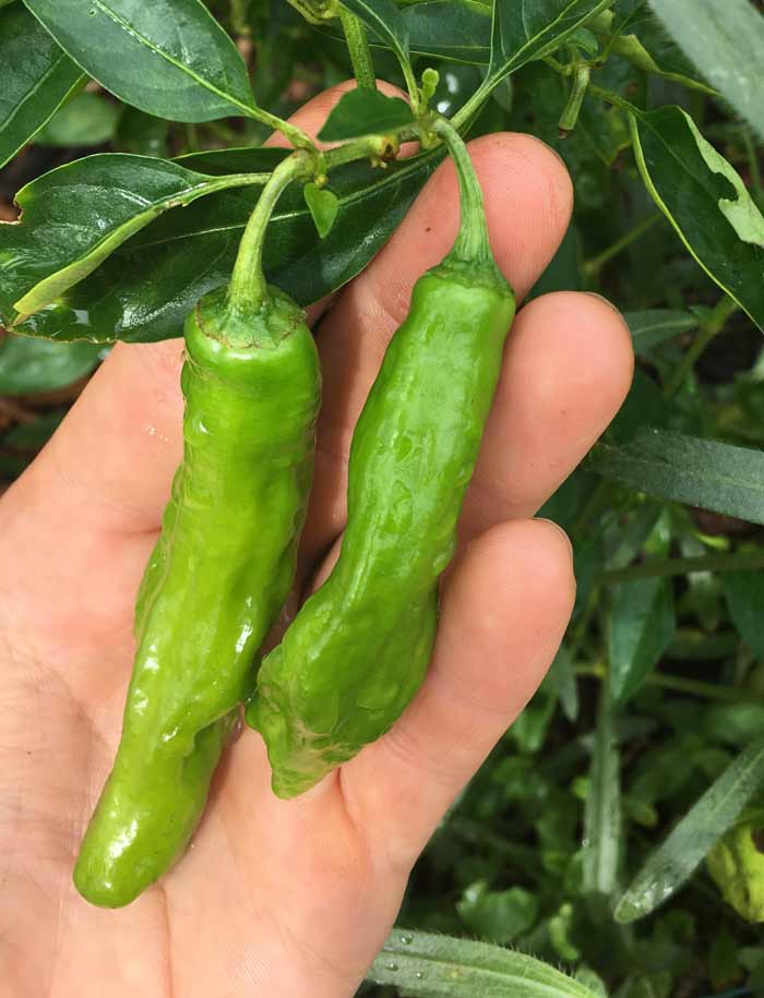 Young, green Shishito peppers at perfect picking size (for green pepper recipes).