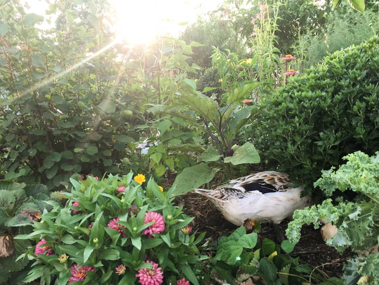 One of our ducks out for an evening forage in our garden. Our ducks have an amazing ability to convert garden greens and insects into breakfast and fertilizer.