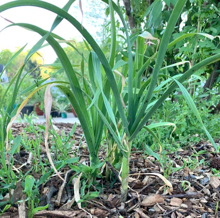 A small patch of green garlic.