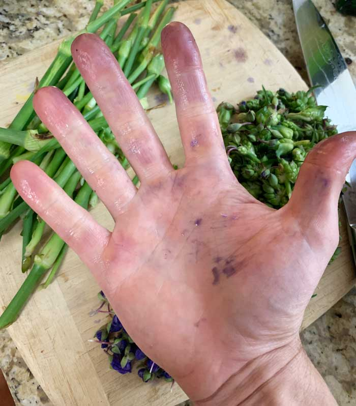 Purple staining on hands after touching Tradescantia flowers.