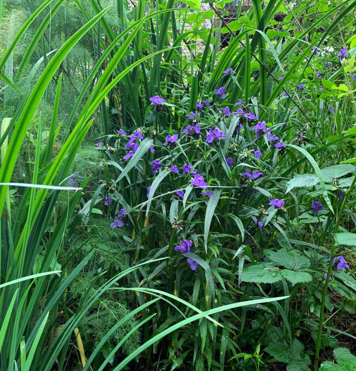 A tradescantia happily growing in nearly full shade spot near our forest line.