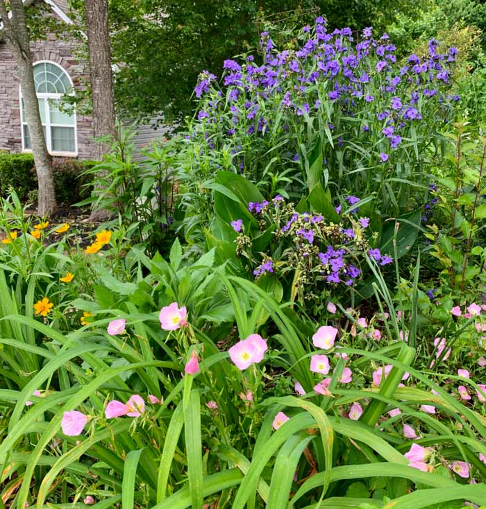 Tradescantia virginiana (purple flowers in back row) in bloom in our front yard in early June.