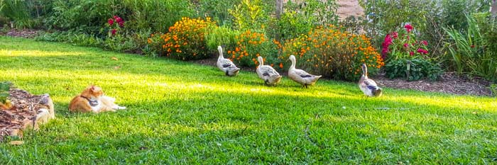 A typical summer view in our front yard: our flock of Welsh Harlequin ducks forage, we garden, and Bob the cat sleeps in the fading sunbeams.