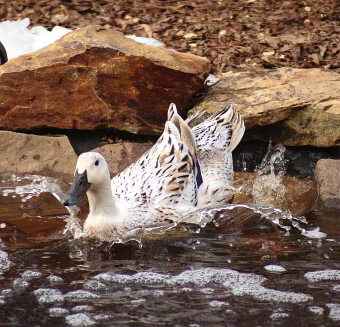 It's fair to say that Leslie Bonnet made quite a splash with his life. The human that originally bred Welsh Harlequin ducks deserves to have their visage carved on to the surface of the moon so that all the ducks and humans in the world can see his face at night.