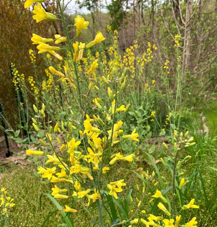 Edible brassica flowers