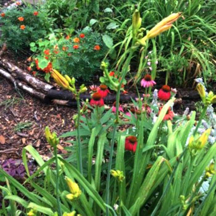 Daylily flowers (Hemerocallis fulva)