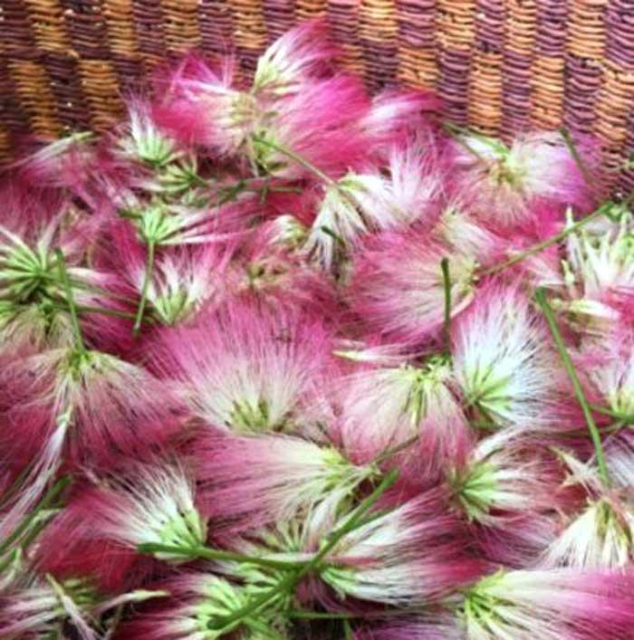 Edible mimosa flowers (Albizia julibrissin)