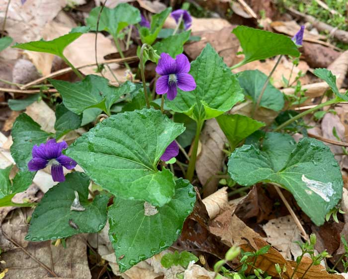 Viola flowers(viola odorata)