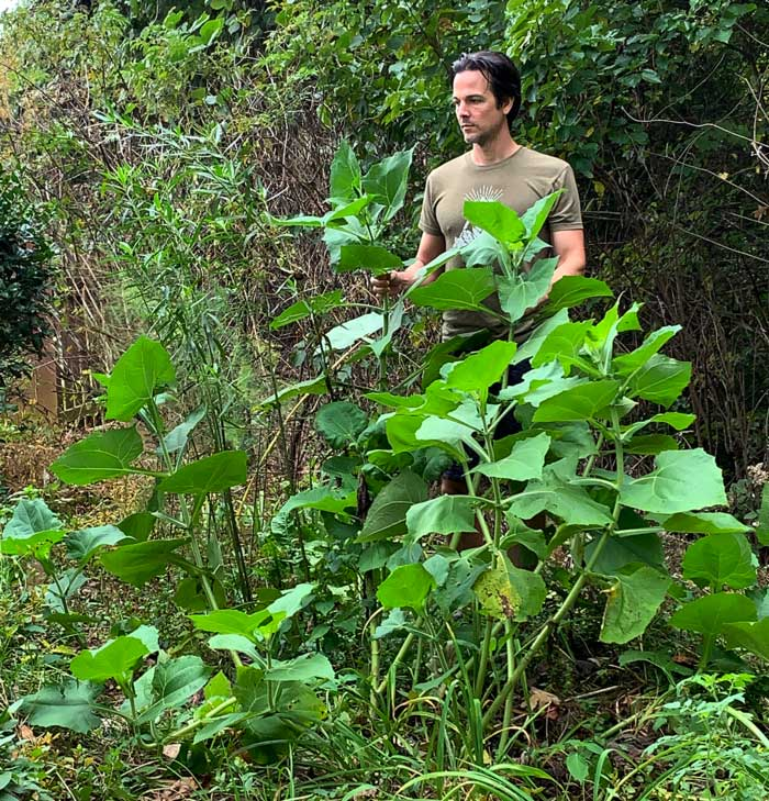 Me standing behind a sprawling, uncaged yacon/Peruvian ground apple plant that was grown without a cage supporting it. For size, reference I'm a little over 6'1