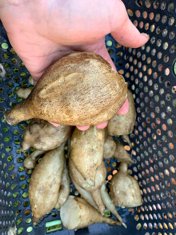 Peruvian ground apple roots. These are relatively small. Under ideal conditions and a long growing season, a single Peruvian ground apple/yacon root can grow to up to 6 pounds.