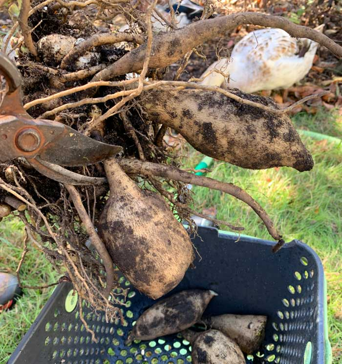 Remove the large yacon roots with pruners, but leave all the other smaller ones attached to the plant's crown. These smaller roots will help keep the crown/rhizomes alive for planting the following year.