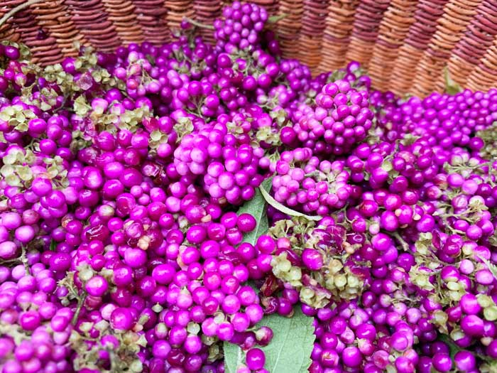 Ripe beautyberries in our harvest basket.